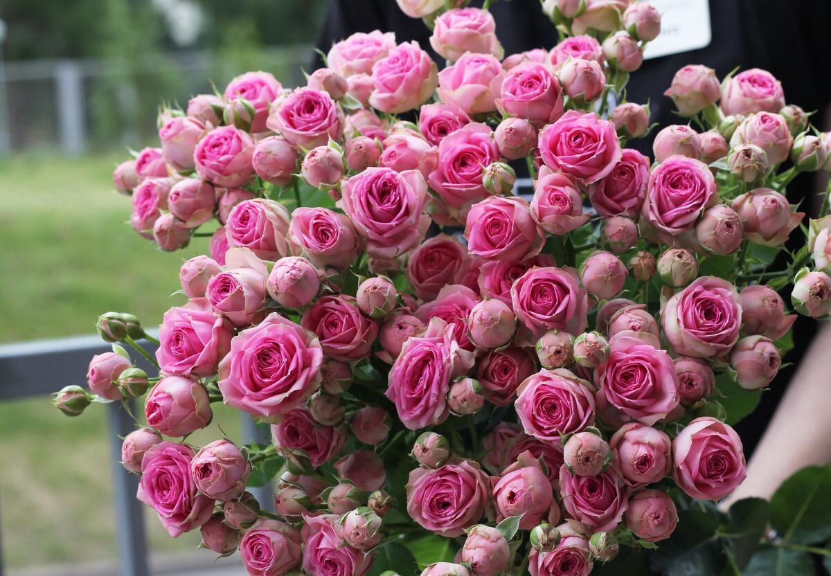 Роза кустовая Super Sensation (Супер Сенсация)