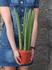 Сансевиерия цилиндрика (Sansevieria Cylindrica)