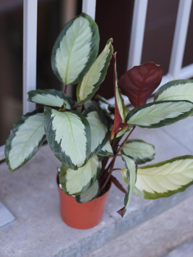 Калатея микс (Calathea)
