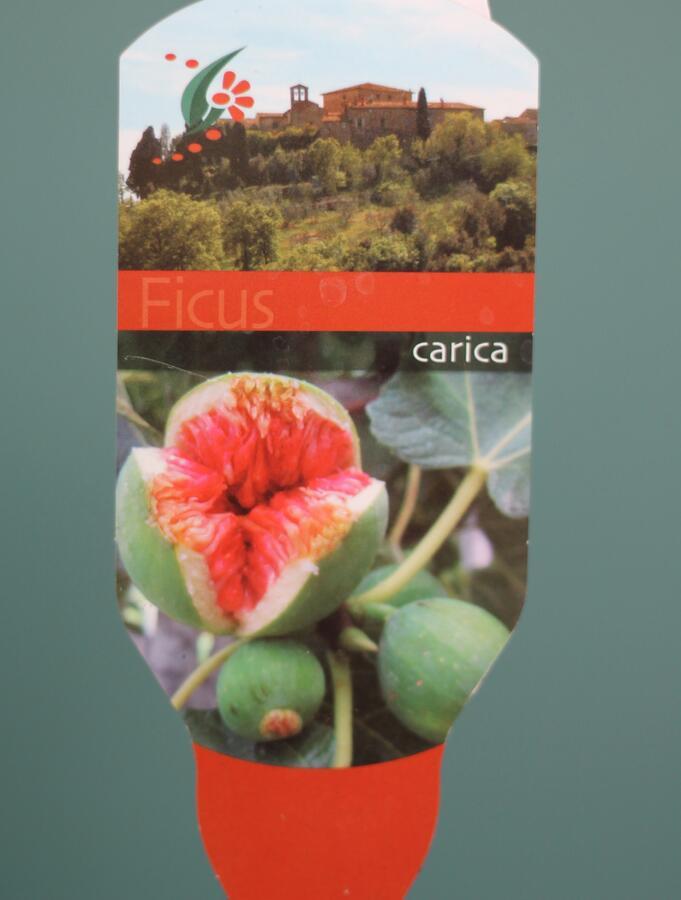 Инжир (Ficus carica)