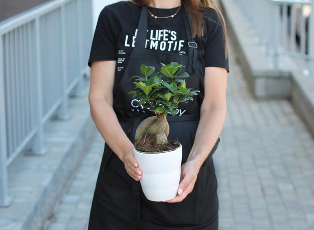 Фикус женьшень (Ficus Ginseng)