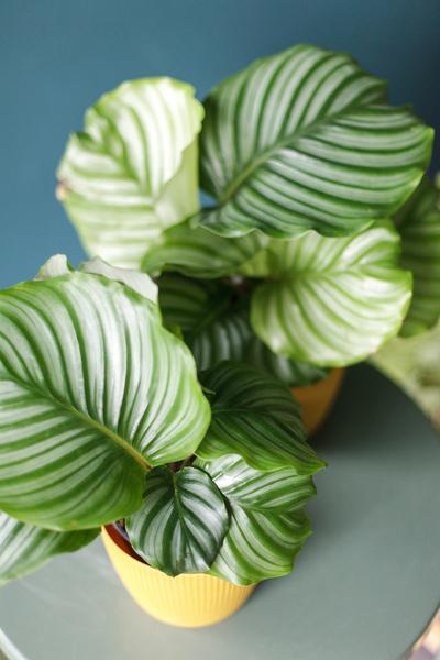 Калатея Орбифолия (calathea Orbifolia)