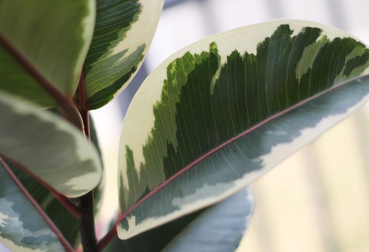 Фикус каучуконосный Эластика Тинеке (Ficus Elastica Tineke)