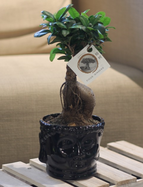 Фикус женьшень  (Ficus Ginseng In Buddha)