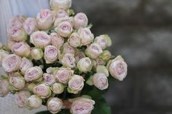 Роза Silver Lace
