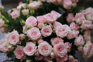 Роза Aerobic