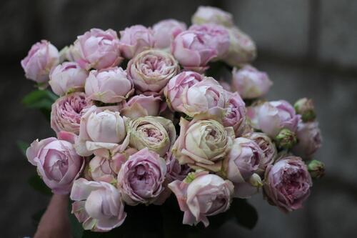 Кустовая роза Blossom Bubbles