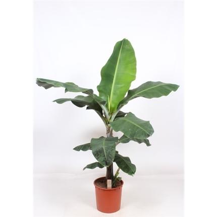 Карликовый банан(Musa Dwarf Cavendish)