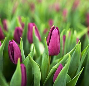 Тюльпан Purple Flag