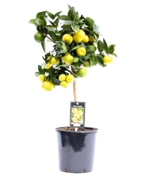 Лиметта Лайм сладкий (Citrus Limetta)