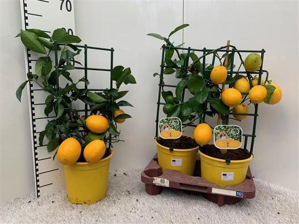 Лимо́н Ме́йера (Meyer's Lemon)