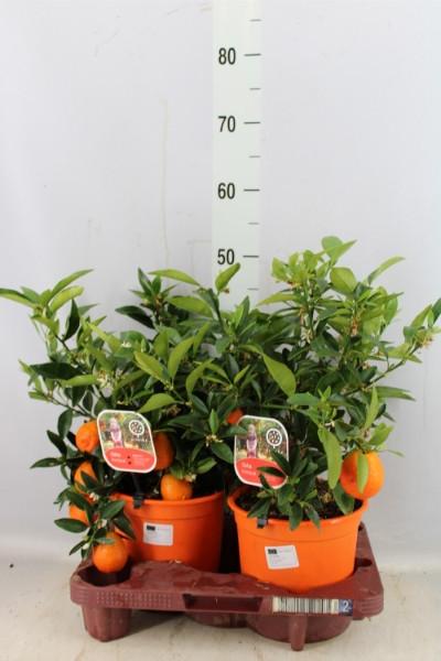 Citrus Reticulata (Мандарин)