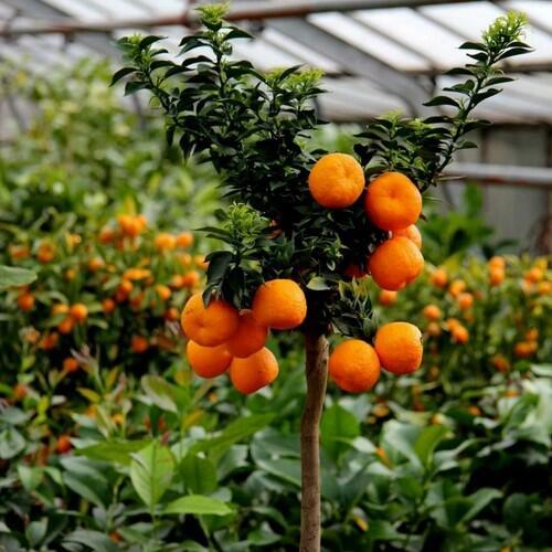 Миртолистный померанец (Citrus Chinotto)
