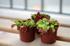 Венерина мухоловка, Дионея (Dionaea Muscipula)