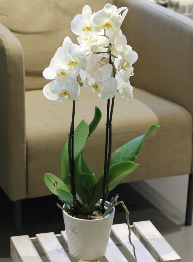 Орхидея Phalaenopsis (Фаленопсис) белая