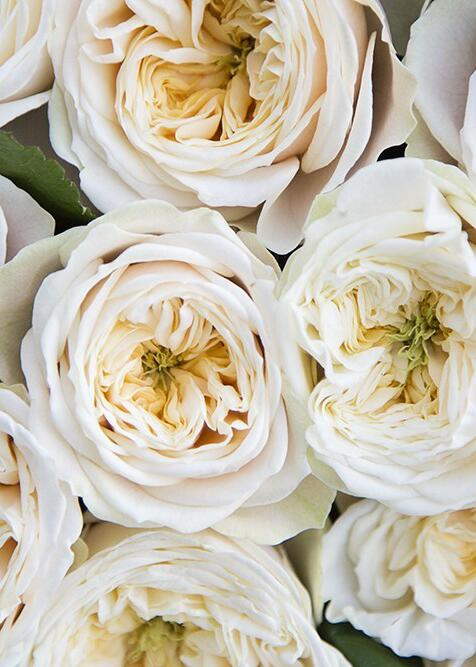 Роза Darlington
