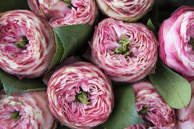 Роза Latin Pompon