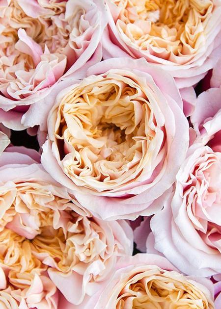 Роза Notting Hill