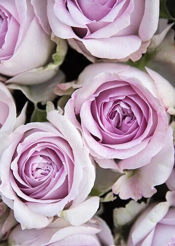Роза Patchouli