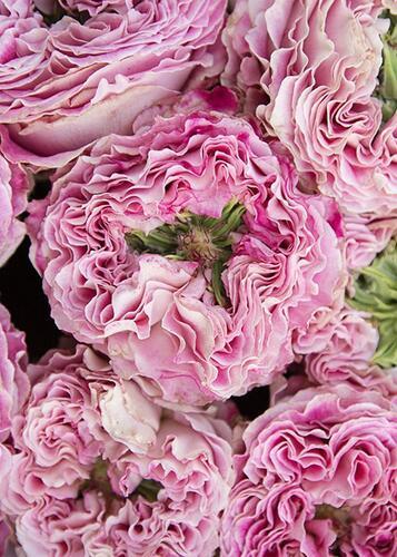 Роза Piccadily Circus