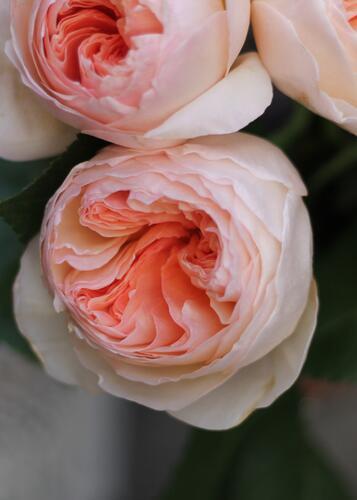 Роза Джульетта Дэвида Остина