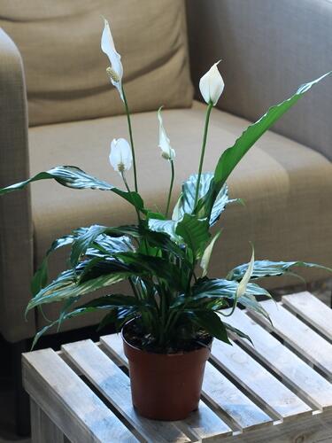 Spatiphyllum (Спатифиллум)