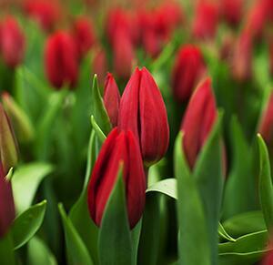 Тюльпан Strong love