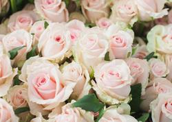 Роза Sweet Dolomiti