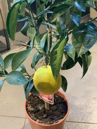 Апельсин (Citrofortunella Arancia Stem)