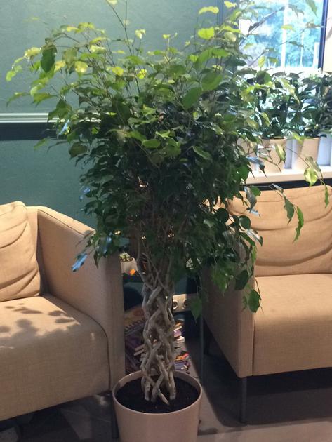 Фикус Экзотика цилиндр(Ficus Exotica Cylinder)
