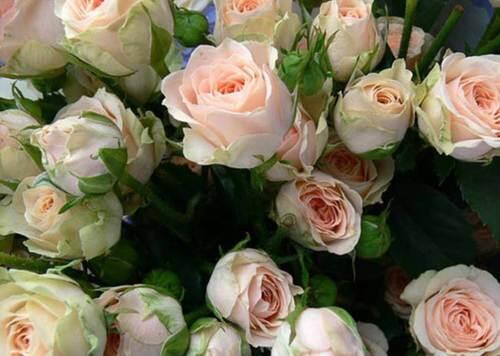 Кустовые розы Jana