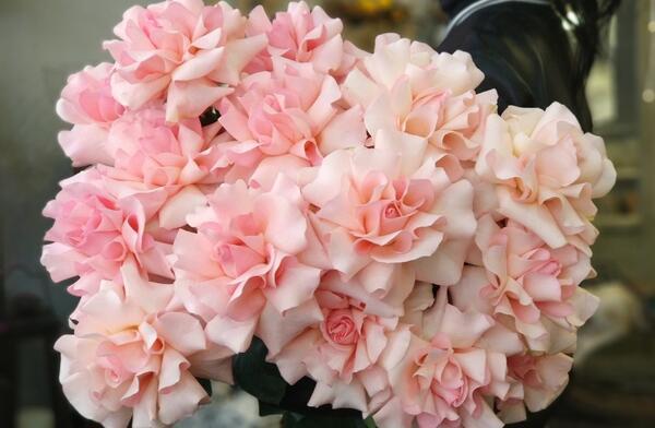 Французская роза розовая