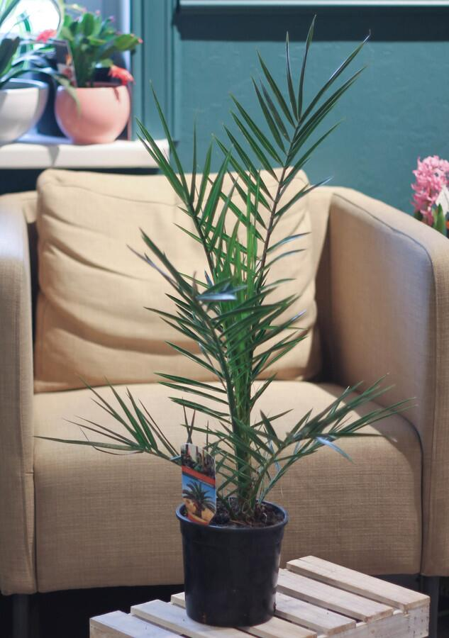Финиковая пальма канарская (Phoenix Canariensis)