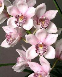 Недорогие орхидеи